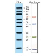 Western Protein Marker
