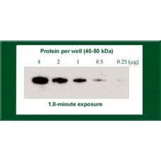 ECL Western Blotting Detection Kit